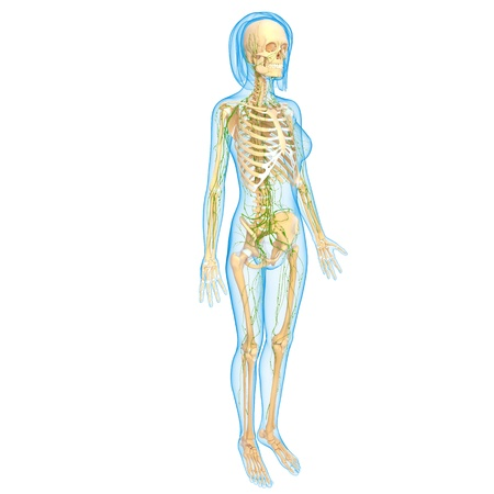 3d art illustration of  lymphatic system of female with skeleton illustration