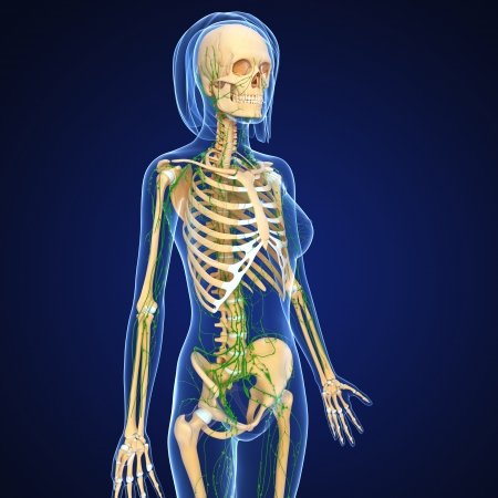 3d art illustration of  lymphatic system of female skeleton in blue illustration