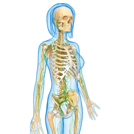 3d art illustration of  lymphatic system of female side view with skeleton illustration