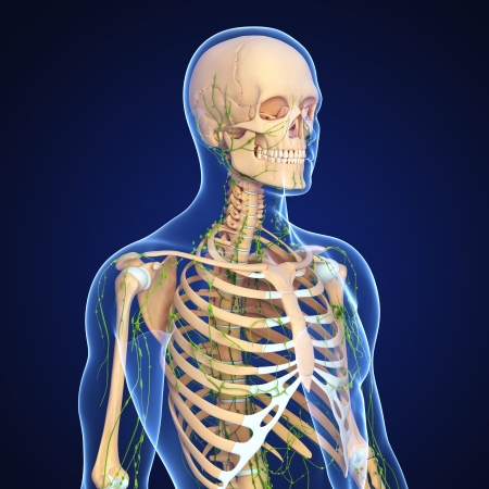 3d art illustration of  lymphatic system of male with skeleton illustration