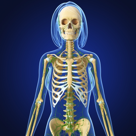 swollen: 3d art illustration of  lymphatic system of female with skeleton