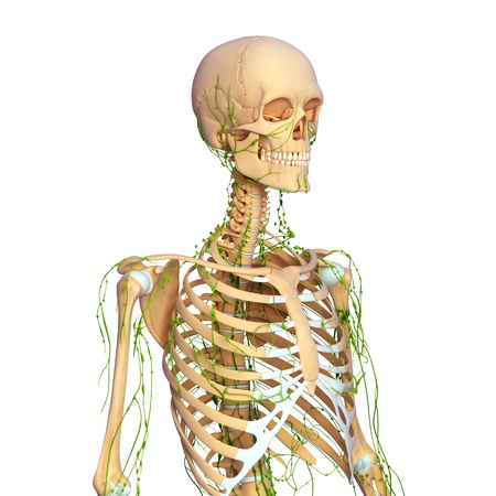 Lymphatic system of female side view Stock Photo - 14772010