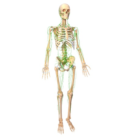 lymphatic: Lymphatic system of female with full body