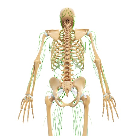 Lymphatic system of female spinal cord Stock Photo - 14771972