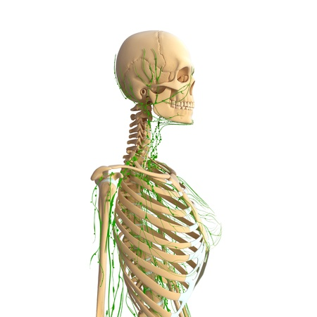 Lymphatic system of female with skeleton photo