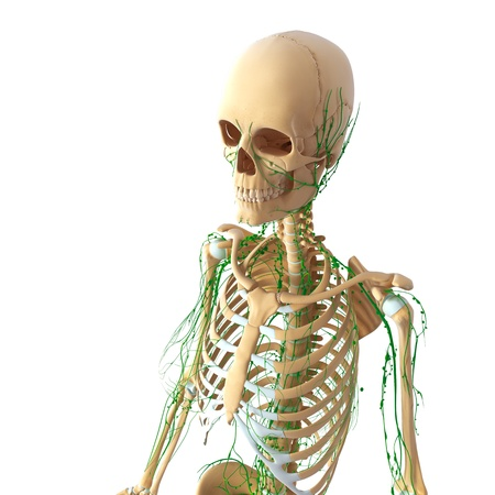 Lymphatic system of female side view skeleton photo