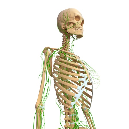 Lymphatic system of female Stock Photo - 14771982