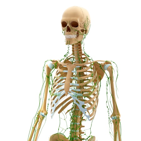 Lymphatic system of female side view with skeleton Stock Photo - 14772011