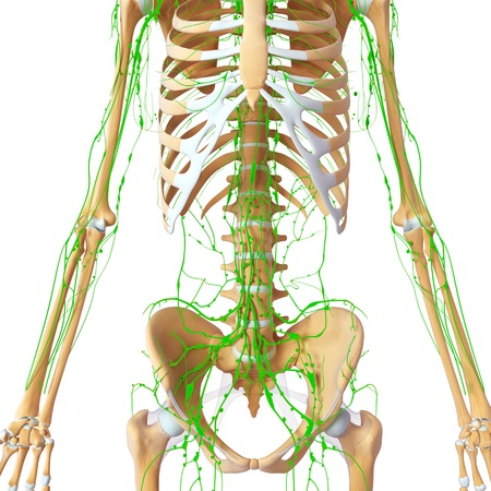 Lymphatic system of female front  Stock Photo - 14772090