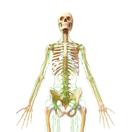 Lymphatic system of female front with half skeleton photo