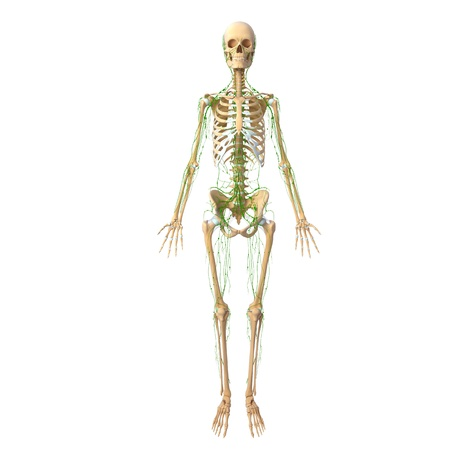 Lymphatic system of female front with skeleton photo