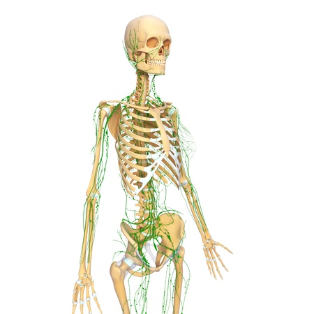 Lymphatic system of female side view with skeleton photo