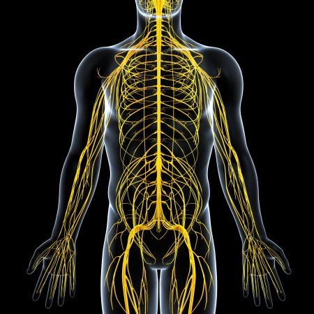 front view of male nervous system  photo