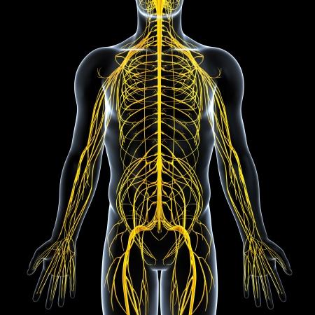 medula espinal: vista frontal del sistema nervioso macho Foto de archivo