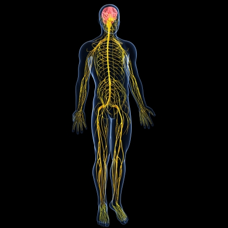 nerves: back view of male nervous system  Stock Photo