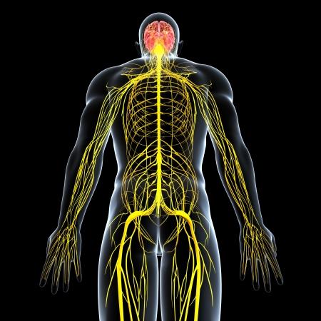 黒の背景に分離された男性の神経系の背面図