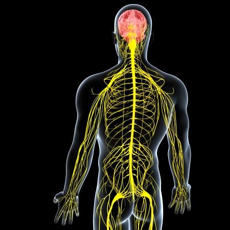 sistema nervioso: de nuevo vista lateral del sistema nervioso masculino aisladas sobre fondo negro