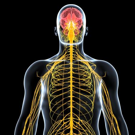 黒の背景に分離された男性の神経系の正面図