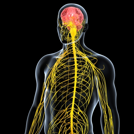 front view of male nervous system isolated on black background photo