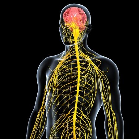 sistema nervioso central: vista frontal del sistema nervioso masculino aisladas sobre fondo negro Foto de archivo