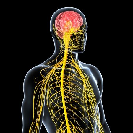 sistema nervioso: vista lateral del sistema nervioso masculino aislado en negro Foto de archivo