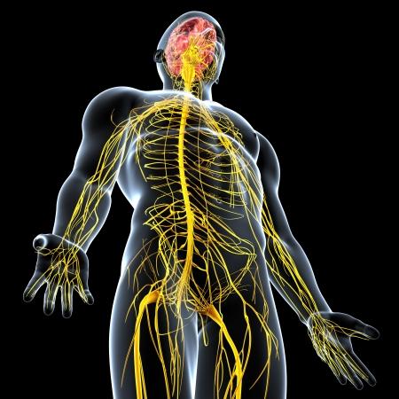 nerveux: vue de c�t� du syst�me nerveux m�le isol� sur fond noir