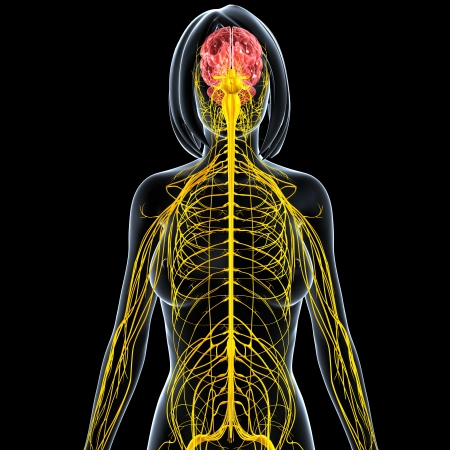 half body: front view of female nervous system half body