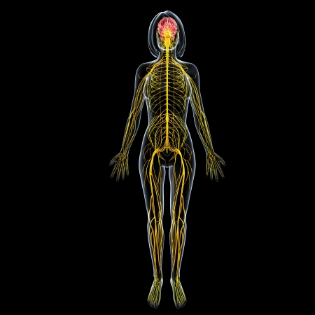 nervous system: front view of female full body nervous system isolated on black background