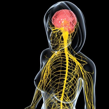 黒の背景上に分離されて女性の神経系のフロント サイド ビュー 写真素材