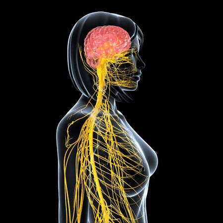 sistema nervioso central: vista lateral del sistema nervioso femenino Foto de archivo