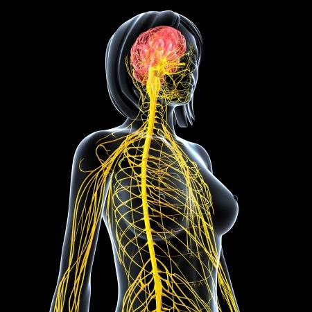sistema nervioso central: sistema nervioso hembra vista lateral aislado en negro Foto de archivo