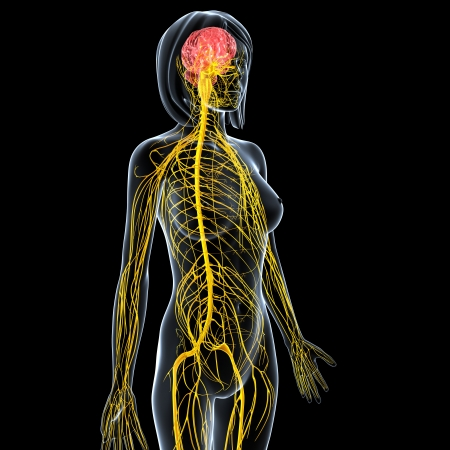 central cord: female side view nervous system