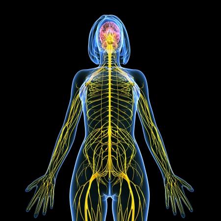 sistema nervioso central: Ilustración del arte 3d del sistema nervioso de vista femenino frente