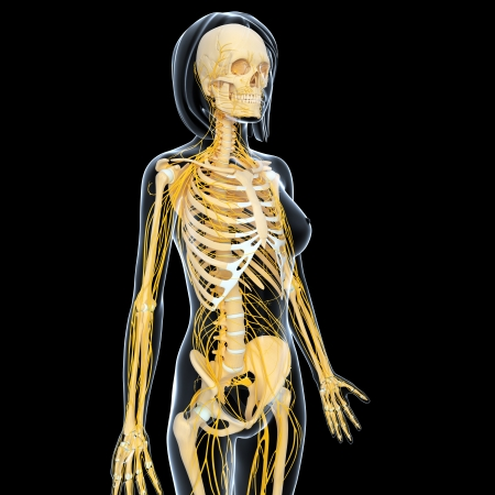 3d art illustration of Nervous system of female skeleton side view  illustration