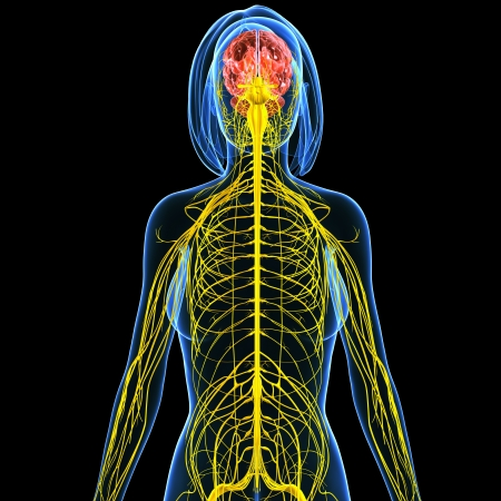 3d art illustration of Nervous system of female back view  Stock Illustration - 15181778
