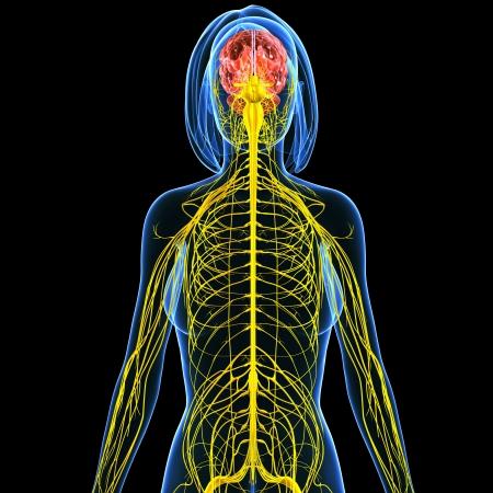 3d art illustration of Nervous system of female back view