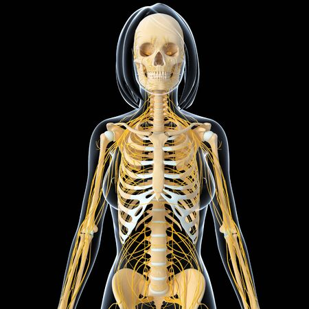 3d art illustration of Nervous system of female skeleton front view  illustration