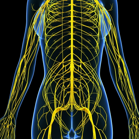 3d art illustration of Nervous system of female body front view  illustration