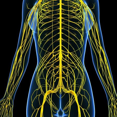 sistema nervioso central: Ilustración del arte 3d del sistema nervioso de vista femenino frente del cuerpo Foto de archivo