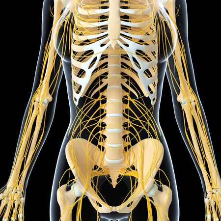 Nervous system of female body front view photo