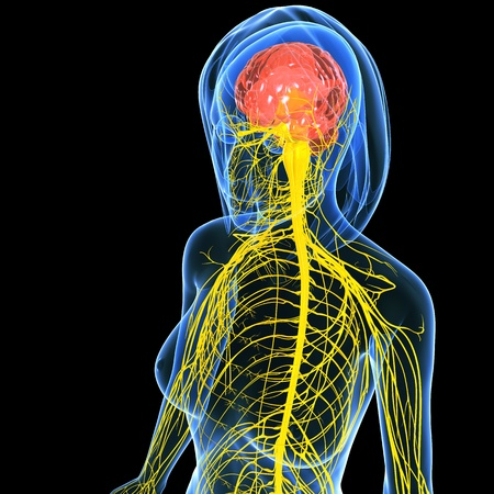 central cord: Nervous system of female half body   Stock Photo