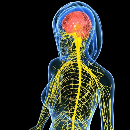 nerve signals: Nervous system of female half body   Stock Photo