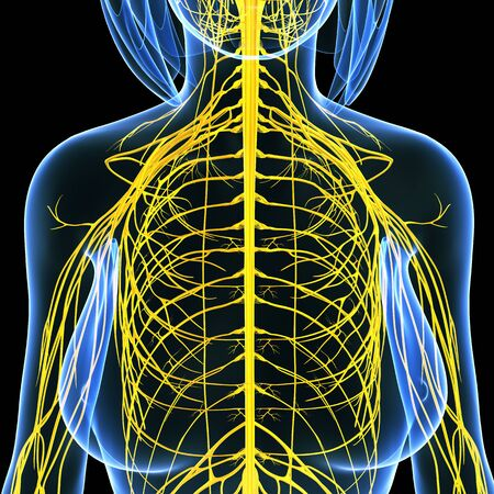 Nervous system of female half body isolated on black Stock Photo - 15181793