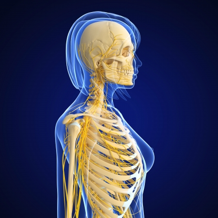 female nervous system side view isolated on blue photo