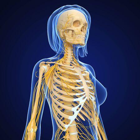 female nervous system isolated on blue Stock Photo - 15181740