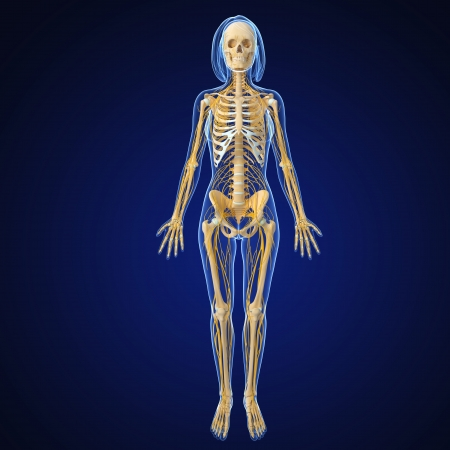 female nervous system isolated on blue front view photo