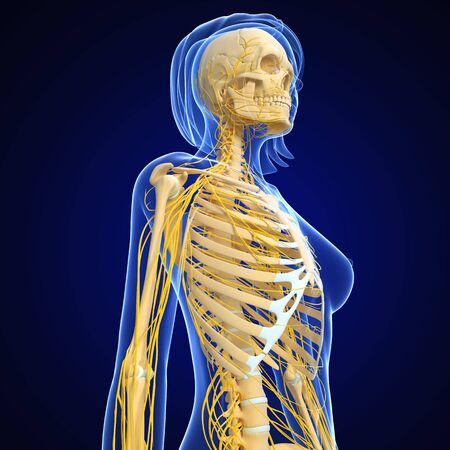 central cord: female nervous system isolated on blue Stock Photo