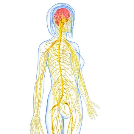 nervios: sistema nervioso femenino destacando vista lateral del cerebro