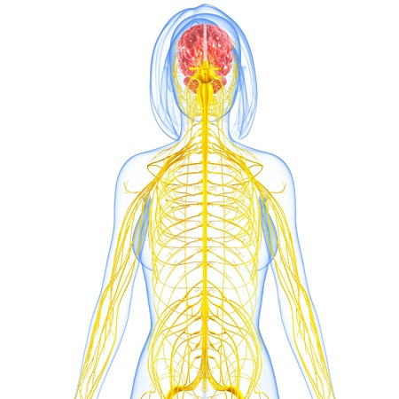 female nervous system highlighting brain
