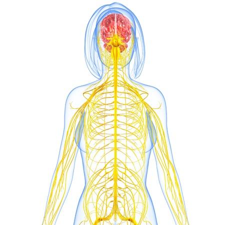 sistema nervioso central: sistema nervioso femenino destacando cerebro